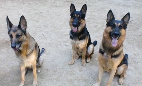3匹の犬のしつけの様子