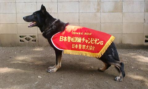 日本警備訓練チャンピオン犬の写真